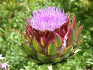 que es alcachofa la flor